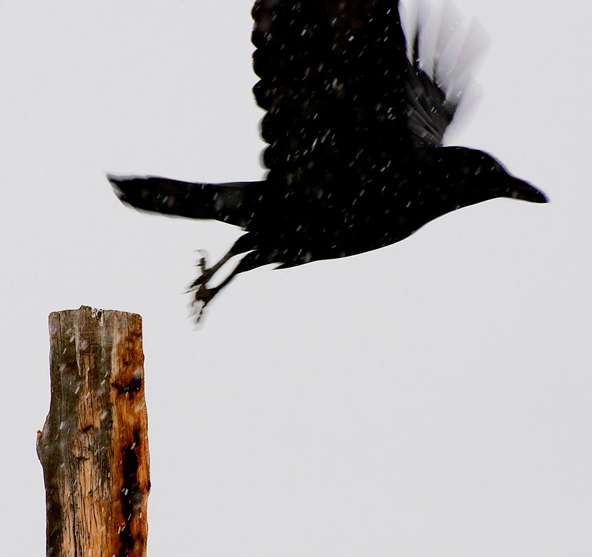 Southwest - A raven takes flight on a snowy day