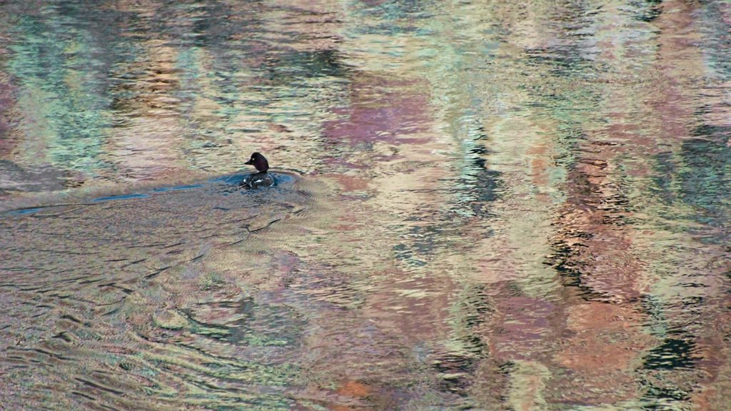 Southwest - Winter colors surround this lone Goldeneyed Duck