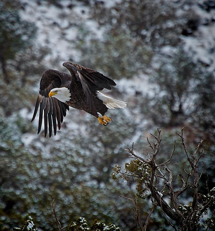Rio Grande River - Bald Eagle of the Rio Grande River